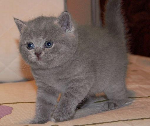 Британские котята - Проспект Ветеранов.